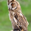 Stock Photo: Owl
