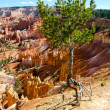 Tree in Bryce Canyon — Stock Photo