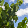 Leaves of vineyard — Foto Stock #32334913