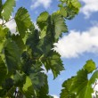 Leaves of vineyard — Stock Photo #32334913