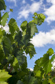 Leaves of a vineyard — Stock Photo