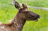 イエローストーンの鹿 — ストック写真