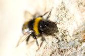 Hornet — Stok fotoğraf