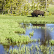 bisonte in yellowstone — Foto Stock