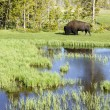 bison in yellowstone — Stockfoto