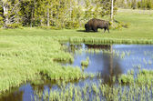 Bison in Yellowstone — Stock Photo