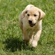 Stock Photo: Labrador puppy