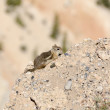 Squirrel in Bryce Canyon — ストック写真