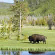 Bison in Yellowstone — Foto Stock