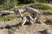干树皮布莱斯峡谷中 — 图库照片
