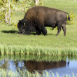 Bison in Yellowstone Natinal Park — Foto de Stock
