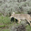 Coyote in Yellowstone National Park — Stock Photo