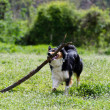 Border collie running on the grass — Stock Photo