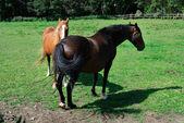 Paarden in cornwall — Stockfoto