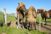 Horses in Iceland — Stock Photo