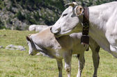 Cow with calf — Stock Photo