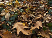 Autumn leaves, ivy and mushrooms. — Stock Photo