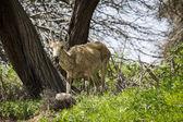 Israel Goat — Stock Photo