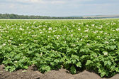 The field of flowering potatoes — Stock Photo