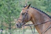 Equestrian sport - head of bay horse — Stock Photo