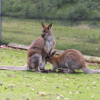 Two wallabies — Stock Photo