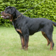 Rottweiler — Stock Photo #35786407