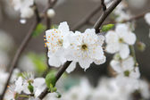 Spring blossom background - abstract floral border of green leaves and white flowers — Stock Photo
