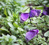 Close up of purple and pink violet in a bunch — Stock Photo