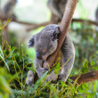 Koala asleep in a tree — Stock Photo
