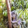 Koala in a tree — Stock Photo #35386757