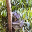 Koala in a tree — Stock Photo