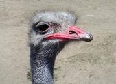 Bird, an ostrich — Stock Photo