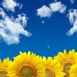 Sunflowers landscape — Stock Photo #32395341