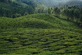 Tea Plantation — Stockfoto