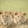 The most beautiful lion of the Masai Mara — Stock Photo
