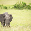 Elephant in Africa — Stock Photo