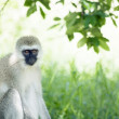 Vervet monkey — Stock Photo #32313359