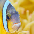 clown anemonefish — Stock Photo