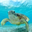 Stock Photo: Turtle underwater