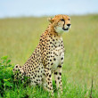 Wild african cheetah portrait, beautiful mammal animal, endangered carnivore, Africa. Kenya. Masai Mara — Stock Photo