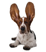 Basset ears up — Stock Photo
