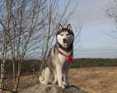 Husky dog outdoors in spring — Stockfoto