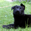 German shepherd puppy dog — Stock Photo