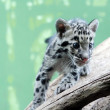 Stock Photo: Kitten of Clouded Leopard