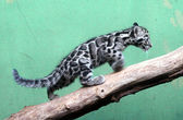 Kitten of Clouded Leopard — Stok fotoğraf