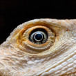 Постер, плакат: Dragon Eye Leucistic Bearded dragon Pogona vitticeps