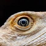 ������, ������: Dragon Eye Leucistic Bearded dragon Pogona vitticeps