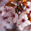 Wild Cherry blossom, sakura flowers — Stock Photo