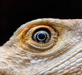 Dragon Eye, Leucistic Bearded dragon - Pogona vitticeps — Stock Photo