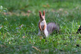 A little squirrel in a park — Foto Stock